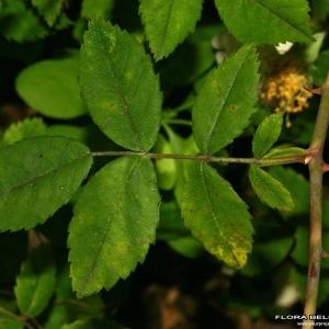 Photographie n°173449 du taxon Rosa arvensis Huds.