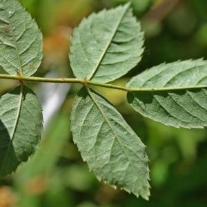Photographie n°173450 du taxon Rosa arvensis Huds.