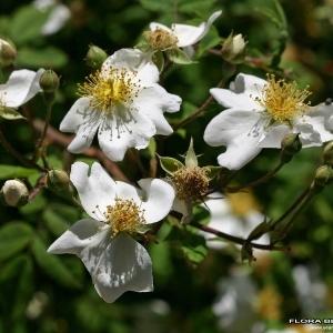 Photographie n°173452 du taxon Rosa arvensis Huds.