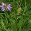 Thierry Pernot - Prunella grandiflora (L.) Schöller