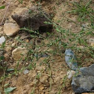 Photographie n°173562 du taxon Polygonum maritimum L.