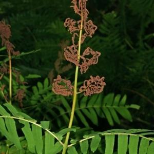 Photographie n°173617 du taxon Osmunda regalis L.