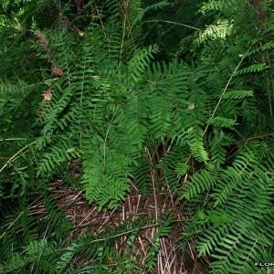 Photographie n°173618 du taxon Osmunda regalis L.