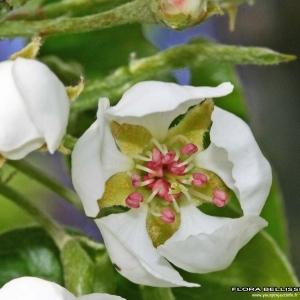 Malus communis (L.) Desf. (Poirier)
