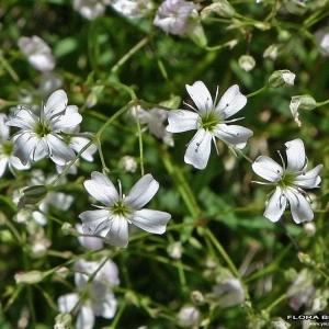 Petrorhagia saxifraga (L.) Link (Oeillet saxifrage)