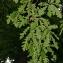 Thierry Pernot - Quercus cerris L. [1753]