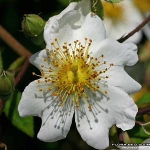Photographie n°174190 du taxon Rosa arvensis Huds.