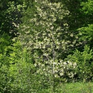 Photographie n°174211 du taxon Robinia pseudoacacia L.