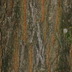 Photographie n°174213 du taxon Robinia pseudoacacia L.