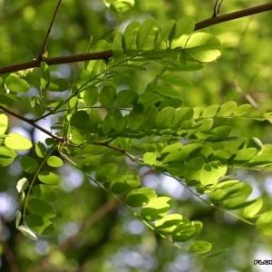 Photographie n°174214 du taxon Robinia pseudoacacia L.