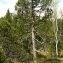 Thierry Pernot - Pinus uncinata Ramond ex DC.