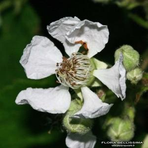 Rubus canescens DC. [1813] (Ronce blanchâtre)