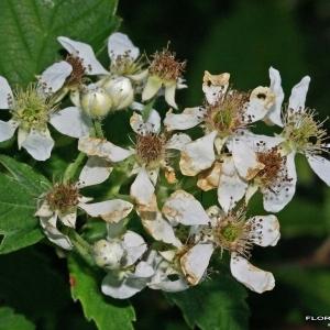 - Rubus canescens DC.