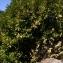 Thierry Pernot - Prunus laurocerasus L.