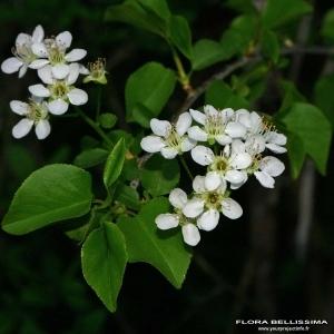 Photographie n°174495 du taxon Prunus mahaleb L.