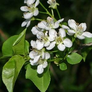 Photographie n°174496 du taxon Prunus mahaleb L.