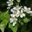 Thierry Pernot - Prunus mahaleb L.