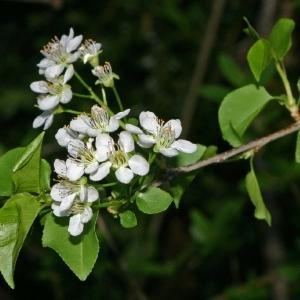 Photographie n°174497 du taxon Prunus mahaleb L.