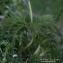 Thierry Pernot - Pulsatilla alpina (L.) Delarbre