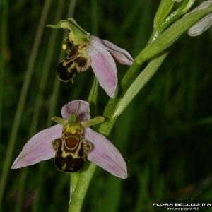 Photographie n°174566 du taxon Ophrys apifera Huds.