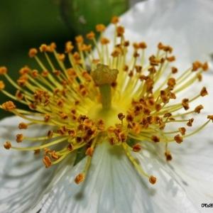 Photographie n°174846 du taxon Rosa arvensis Huds.