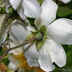 Photographie n°174848 du taxon Rosa arvensis Huds.