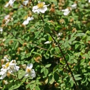Photographie n°174852 du taxon Rosa arvensis Huds.