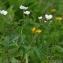 Thierry Pernot - Ranunculus aconitifolius L. [1753]