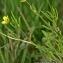 Thierry Pernot - Ranunculus arvensis L.