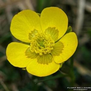 Ranunculus carinthiacus Hoppe [1826] (Renoncule de Carinthie)