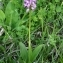 Thierry Pernot - Orchis militaris L.