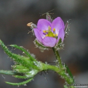 Photographie n°175135 du taxon Spergularia rubra (L.) J.Presl & C.Presl