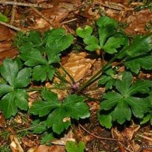Photographie n°175151 du taxon Sanicula europaea L.