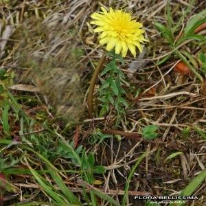 Photographie n°175214 du taxon Taraxacum laevigatum (Willd.) DC.