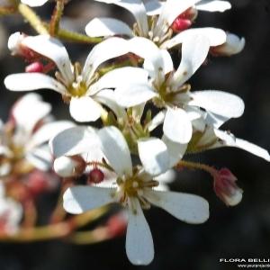 Saxifraga cotyledon L. (Saxifrage cotylédon)