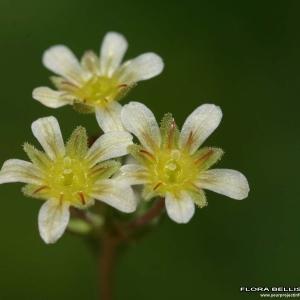 Saxifraga exarata Vill. (Saxifrage sillonée)