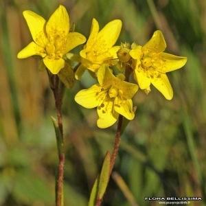 Saxifraga hirculus L. (Saxifrage bouc)