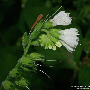 Symphytum orientale L. (Consoude d'Orient)