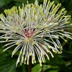 Thalictrum aquilegiifolium L. (Colombine panachée)
