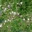 Thierry Pernot - Silene latifolia (Mill.) Britten & Rendle