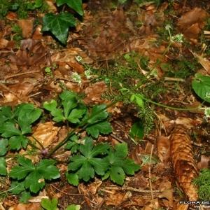Photographie n°175391 du taxon Sanicula europaea L.