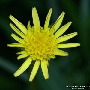 Podospermum laciniatum (L.) DC. (Scorsonère à feuilles de chausse-trape)