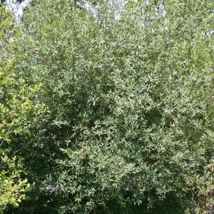Photographie n°175549 du taxon Salix triandra L.