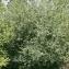 Thierry Pernot - Salix triandra L. [1753]