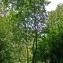 Thierry Pernot - Sorbus aucuparia L.
