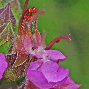 Teucrium chamaedrys L. (Germandrée petit-chêne)
