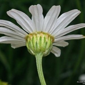 Tanacetum cinerariifolium (Trevir.) Sch.Bip. (Pyrèthre de Dalmatie)