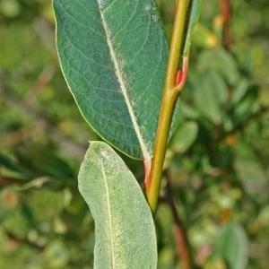Salix caesia Vill. (Saule bleu)