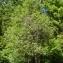 Thierry Pernot - Salix caprea L.