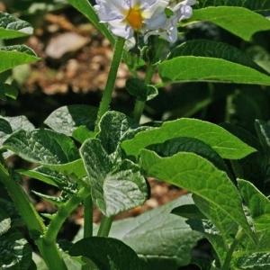 Photographie n°175776 du taxon Solanum tuberosum L.